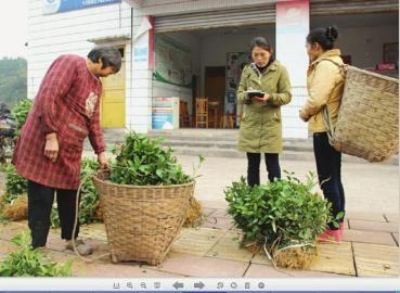 新建大型茶叶加工厂农民种茶不愁销