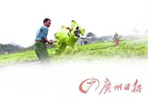 珠三角周边蔬菜基地菜农弃耕芥菜长至1米(图)