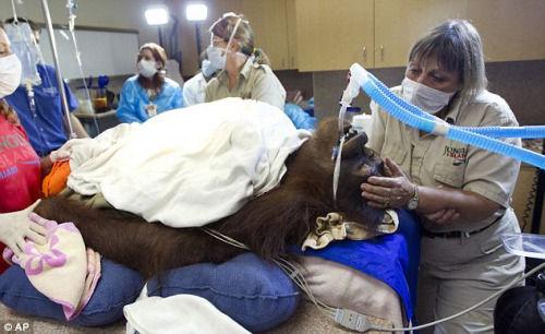 红毛猩猩患淋巴癌成全球首只接受化疗猩猩(图)