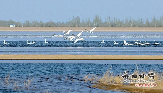 民勤县石羊河流域吸引成群白天鹅前来越冬(图)