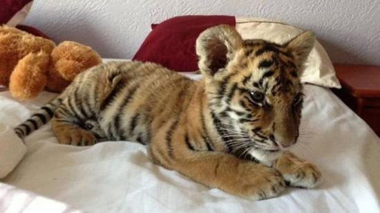 墨西哥宠物店网上叫卖老虎狮子幼崽引声讨(组图)
