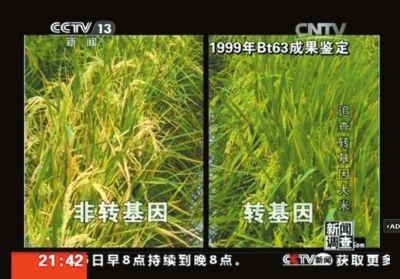 央视记者在超市扛几袋米就能查出转基因,当地农民随便在田里看一眼,就能分辨出转基因水稻