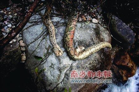 广东80斤重蟒蛇冬眠中被冻死(图)