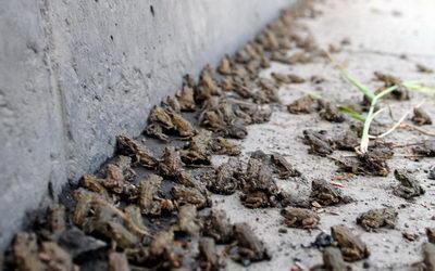 大量小蟾蜍横穿马路专家称属正常迁徙(图)