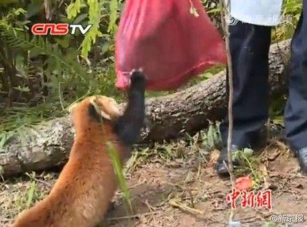 熊猫咬住同伴尸体袋子不放