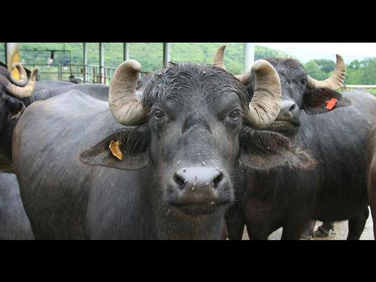 被超车感到不爽,印醉酒议员拦停卡车放走30头水牛。(资料图片)