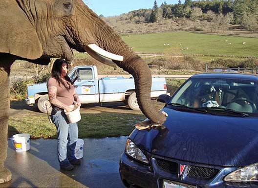美国动物园用大象为游客洗车(组图)
