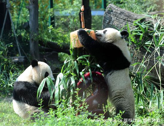 组图:大熊猫福龙在奥地利度过2岁生日