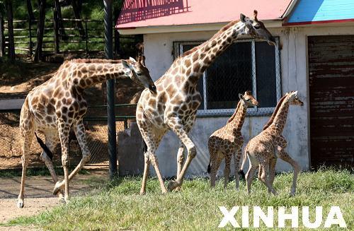 组图:济南野生动物园两只小长颈鹿与游人见面