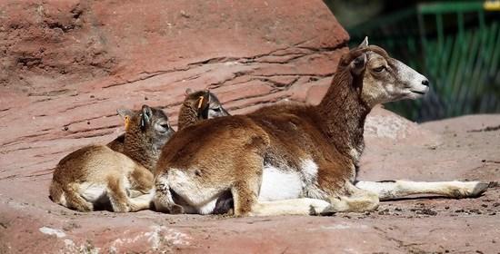 5月9日,在加拿大多伦多动物园欧亚动物区,一只山羊带领两只小羊晒太阳