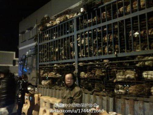 等待被志愿者救助的1000多只狗塞满了整个大货车 图片来源重庆小动物保护协会微博。