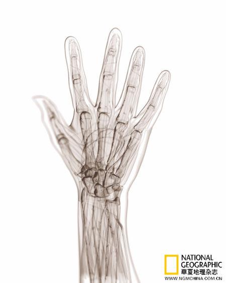 动物的前肢——从蛙类到大象,从蝙蝠到人类——都暗藏同样的解剖学