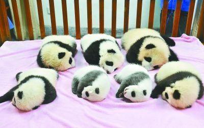 7只熊猫宝宝