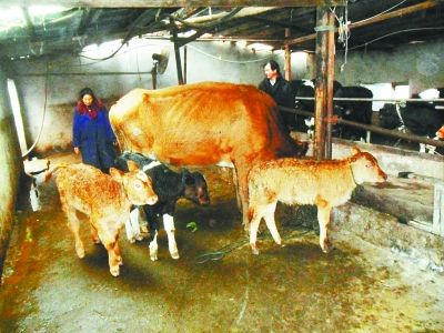 母牛和3只牛犊。通讯员王东升 摄
