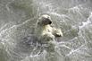北极熊挣扎求生