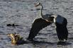 母鸭欲从鹭嘴救子