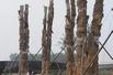 天价古树集体死亡