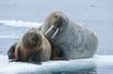 北极海象夏日生活