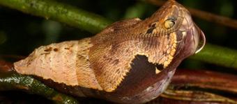 猫头鹰蝶在蛹期伪装成毒蛇震慑捕食者