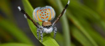 动物界十大舞蹈家:孔雀蜘蛛舞动美丽腹部求偶