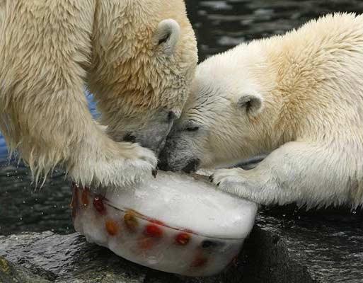 吃生日蛋糕的两只北极熊