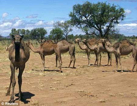 美国知名主持人指责澳总理屠杀野生骆驼(组图)