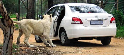 野生动物园惊魂一幕:狮子拉开游客车门