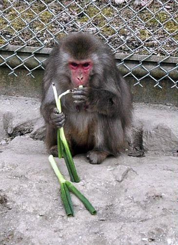 日本动物园猴子吃大葱抵御风寒