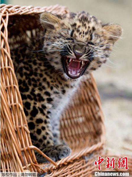 豹 豹子 壁纸 动物 桌面 447_600 竖版 竖屏 手机
