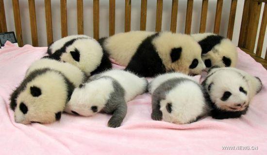 壁纸 大熊猫 动物 550_320