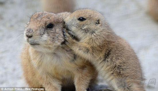 德国动物园可爱土拨鼠群照