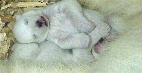 去年在欧洲出生的这对宝宝是唯一的,在人工饲养的环境下出生的北极