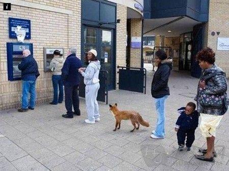 英国趣闻:狐狸排队取钱照片网络疯传