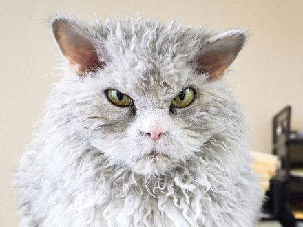 爱因斯坦猫走红网络:每天都是气嘟嘟的