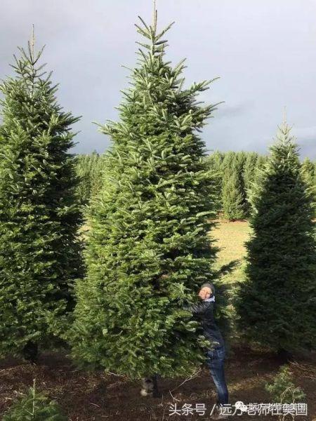 6米高的圣诞树