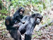 《黑猩猩家族风云》