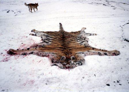 动物与自然电影周展映电影:《人虎交锋》