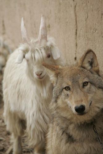 将一只丧母后奄奄一息的幼狼带回家中用羊奶精心喂养,目前,半岁的狼
