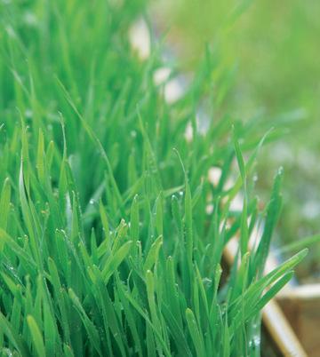 小麦草如青草般翠绿