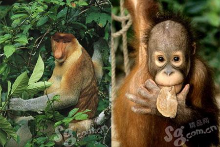 世界上第二大的原始热带雨林,诸多的红树林,珍稀的长鼻猴就生活在这里