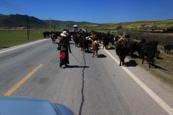 由于213国道途径牧区 过马路的牛羊也成为我们的阻碍之一