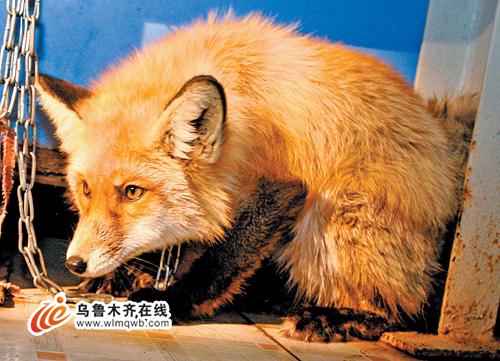 当时它好像受了伤跑不动,便带回家喂养,准备养好伤送往动物保护部门.