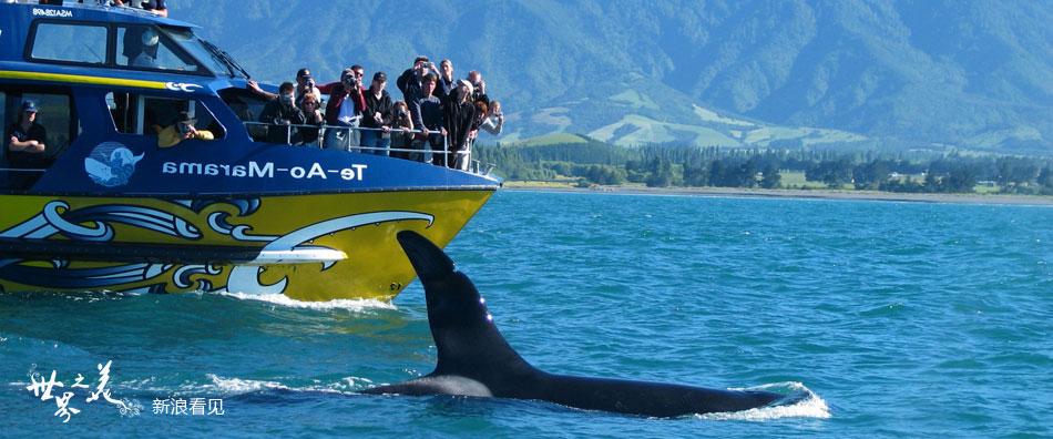 新西兰凯库拉:与巨型抹香鲸来一次浪漫邂逅