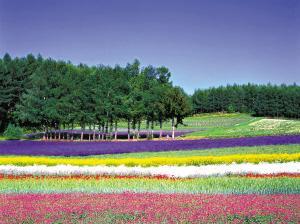 日本:夏日薰衣草