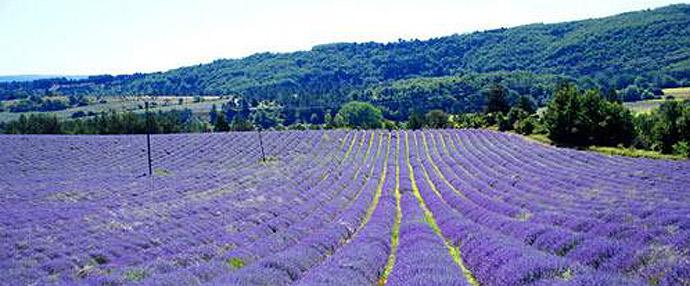 法国:熏衣草天堂零距离(图)
