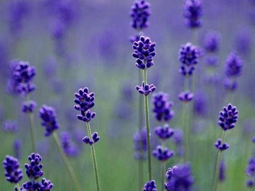 薰衣草中散发着浪漫的气息
