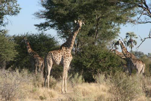 长颈鹿的好奇心还挺强