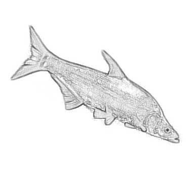 """裸鲤鱼:都说""""水清无鱼"""",但在九寨沟清澈见底的湖水中却生长着一种十分珍贵的濒危鱼类,当地人称之为""""裸体鱼"""",学名""""裸鲤鱼""""。这种鱼没有鳞,看上去真是裸体一般。由于生长在高海拔的冰雪融水当中,其生长速度非常缓慢,最大也只能长到半斤多重。"""
