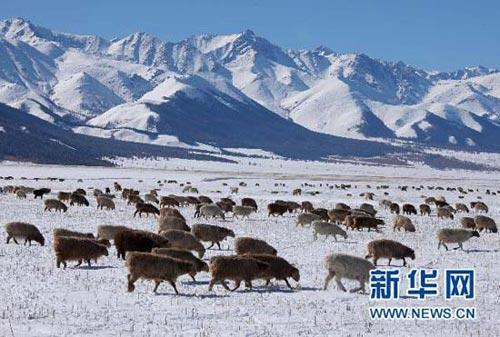 羊群在天山脚下的雪地里觅食(10月10日摄)。 10月8日起,一股较强冷空气入侵新疆哈密,当地气温下降明显,连降雨雪,天山披上了银装,对农牧业生产及居民生活造成一定影响。新华社发(朱正华 摄)