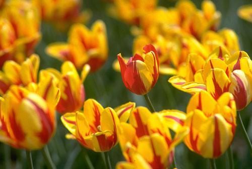 加拿大花卉展